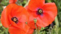 Please join us for our Remembrance Day Assembly on Thursday, November 10 at 10:30 in the school gym.